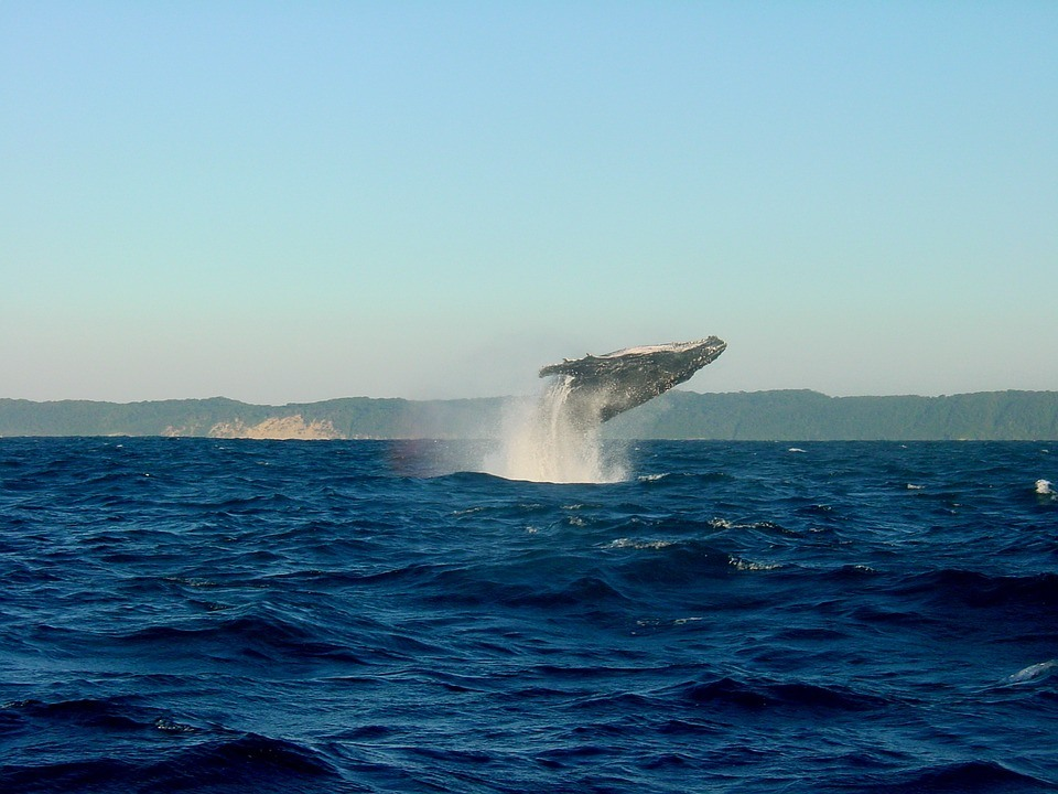 Whale-jumping-out-water