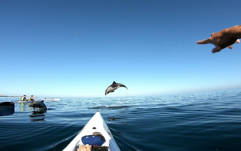 dolphin jumping in front of kayak