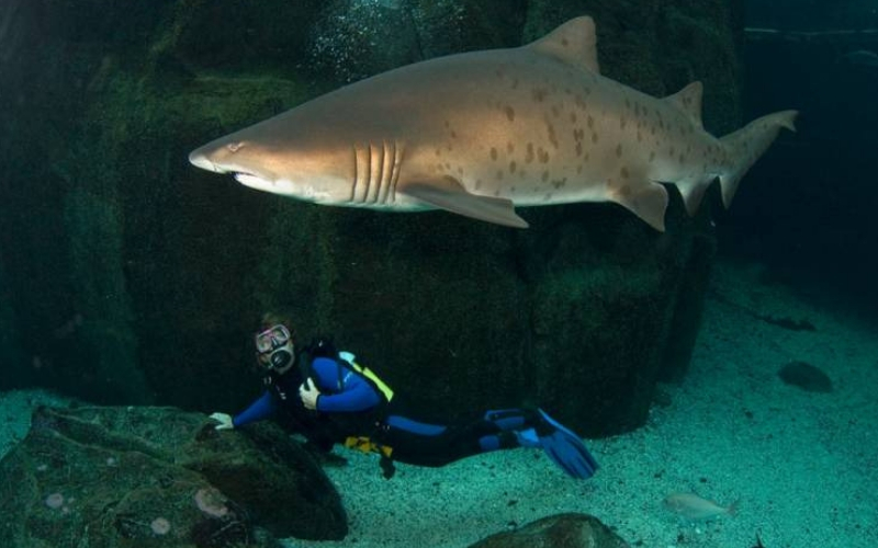 Diver swimming underneath shark