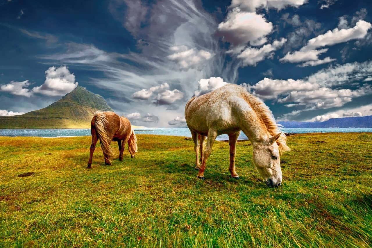Two Brown And White Icelandic Horses Grazing In A Field Against A Blue Sky Backdrop